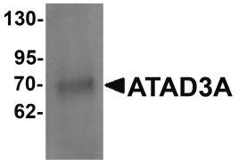 ATAD3A Antibody (PA5-21159)