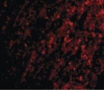 ATG12 Antibody (PA5-20464)