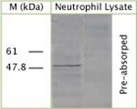 ATG4B Antibody (OSA00033W)