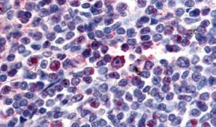 Attractin Antibody (PA5-32668)