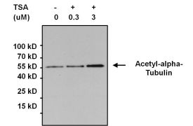 alpha Tubulin Antibody (PA5-19489)