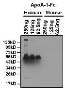 Apolipoprotein A1 Antibody (MA5-14668)