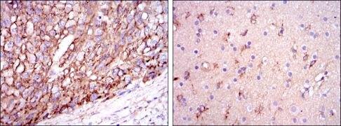 APOE Antibody (MA5-15852)