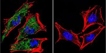 AHR Antibody (MA1-513)