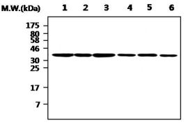 Aurora B Antibody (MA5-17226)