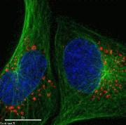 U-2 OS cells were transduced with Premo™ Autophagy sensor LC3B-RFP (red) and CellLight® Tubulin-GFP (green)