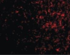 AVEN Antibody (PA5-20287)