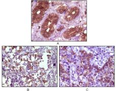 BLK Antibody (MA5-15298)