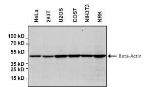 beta Actin Antibody (MA5-15739-HRP)