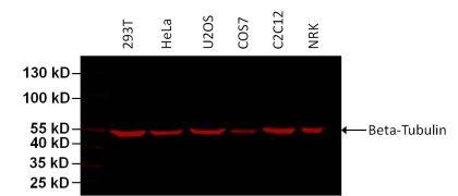beta Tubulin Loading Control Antibody (MA5-16308-D680)