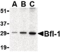 BCL2A1 Antibody (PA5-20268)
