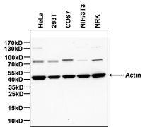 Actin Antibody (MA5-11866)