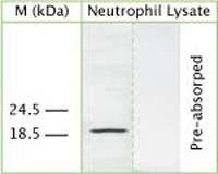 CAP-18 Antibody (OSC00009W)
