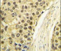 Cyclin A2 Antibody (PA5-14174)