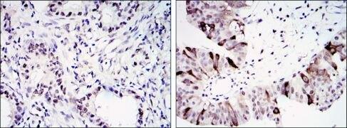 Cyclin B1 Antibody (MA5-15706)