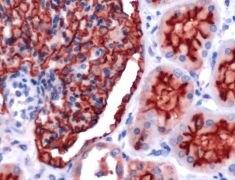 CD10 Antibody (PA5-32302)
