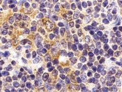 TLR9 Antibody (PA5-20202)