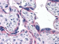 N-cadherin Antibody (MA5-15633)