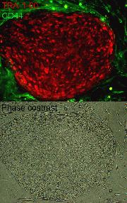 Live cell imaging of iPSCs using the TRA-1-60 Alexa Fluor® 555 Conjugate Kit