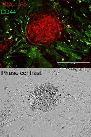 Live cell imaging of iPSCs using the TRA-1-60 Alexa Fluor® 594 Conjugate Kit