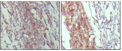 CD45 Antibody (MA5-15478)