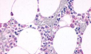 C5AR1 Antibody (PA5-33372)