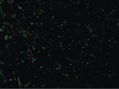CIDEA Antibody (PA5-19907)