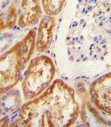 Claudin 16 Antibody (PA5-23939)