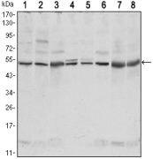 CSK Antibody (MA5-15707)