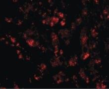 CUEDC1 Antibody (PA5-20619)