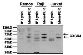 CXCR4 Antibody (PA3-305)