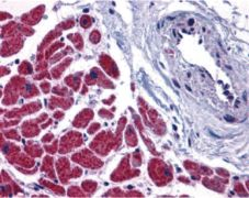 Caspase 12 Antibody (PA5-19962)