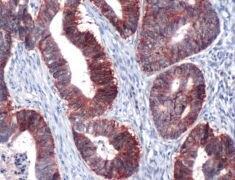 Claudin 7 Antibody (PA5-32356)