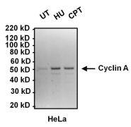 Cyclin A2 Antibody (MA1-154)