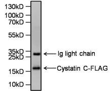 Cystatin C Antibody (PA5-19108)