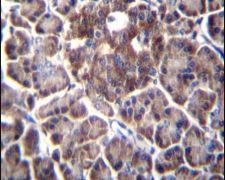 DDIT4 Antibody (PA5-13253)