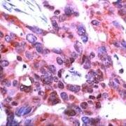 ICAD Antibody (PA1-37559)