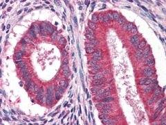 EGF Antibody (MA5-15571)