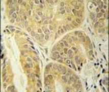 ENAM Antibody (PA5-25734)