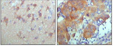 ErbB3 Antibody (MA5-15437)