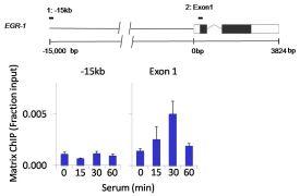 ERK1 Antibody (MA1-13041)