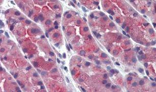 ERP44 Antibody (PA5-33519)