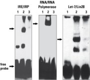 RNA probes biotinylated with the RNA 3' End Biotinylation Kit retain function and interact with RNA binding proteins