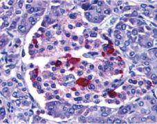 ENDOG Antibody (PA5-20004)