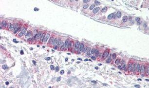 F2RL3 Antibody (PA5-33531)