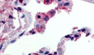 GPR43 Antibody (PA5-32767)