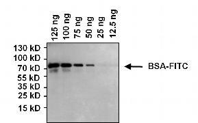FITC Antibody (MA5-14696)