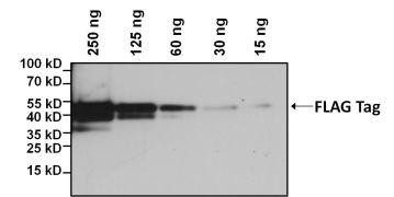 DYKDDDDK Tag Antibody (MA1-91878-BTIN)