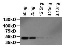 DYKDDDDK Tag Antibody (MA1-142-1MG)