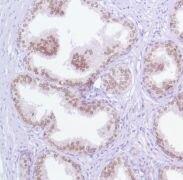 FOXA1 Antibody (MA5-16364)